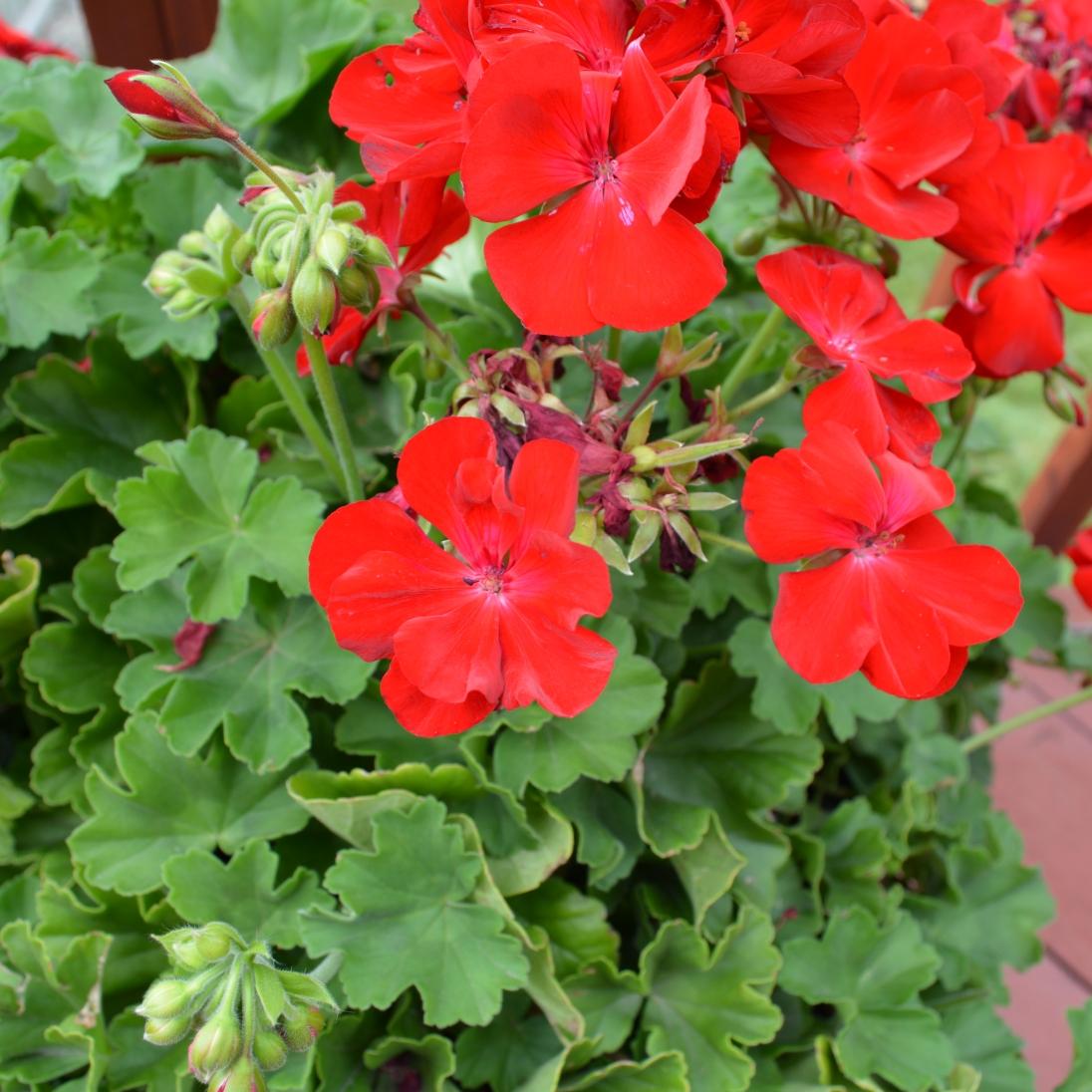 Geraniums on the deck.
