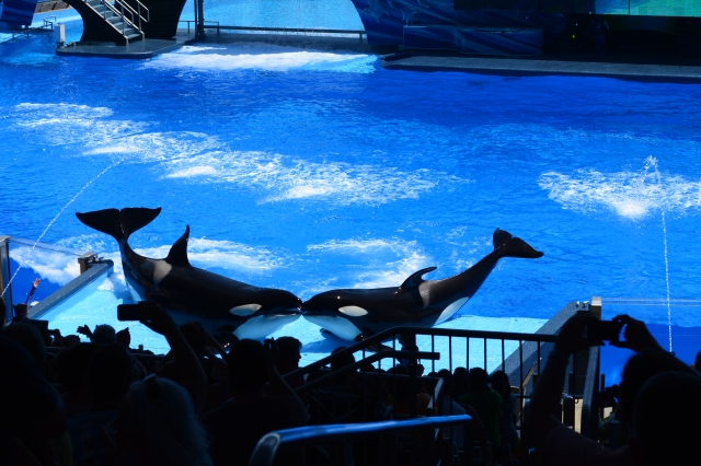 Do these Orcas know we think they are kissing?
