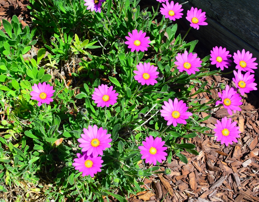 Purple Mountain African Daisy (Osteospermum)