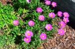 Purple Mountain African Daisy (Osteospermum)
